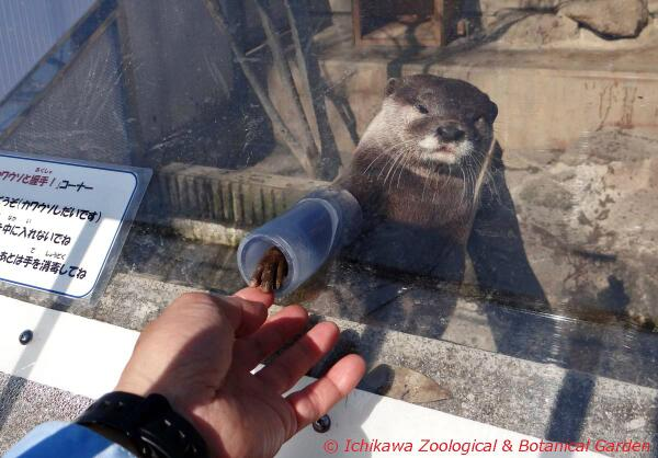 コツメカワウソファンの皆さん、お待たせしました!握手コーナー始動です。city.ichikawa.lg.jp/zoo/0239.html#市川市動植物園 pic.twitter.com/YQw2tW4VvL