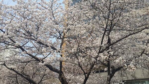 대구에 벚꽃이 만개했어요~~~ 여기만 그것도 이 나무만.....ㅎㅎ #dicadong http://t.co/vz7rowCYlR