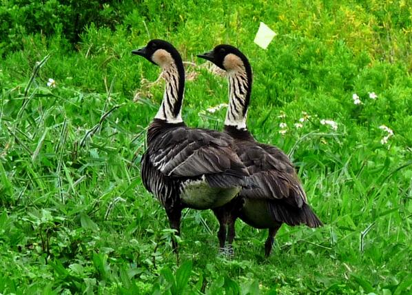 This is the first nēnē pair on O'ahu since before Captain Cook arrived in the 1700s! http://t.co/kvb4tB7mVs