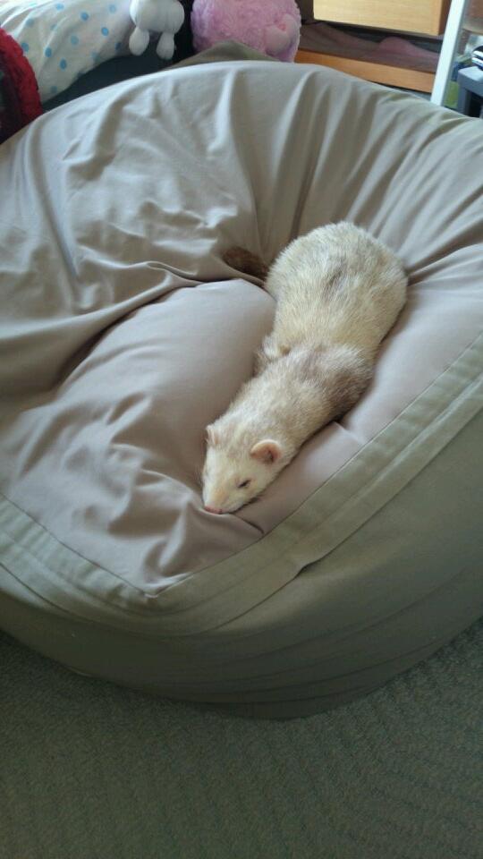 人間をダメにするソファーでダメになるイタチ。 pic.twitter.com/HmA7C0EJke