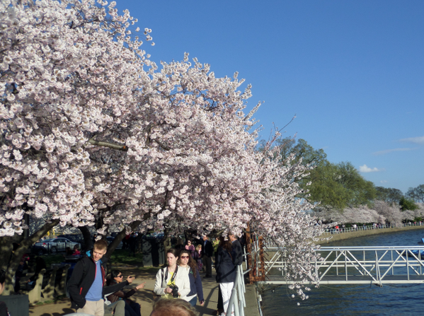 ATTN: today is PEAK BLOOM! Join us at the Tidal Basin + National Mall to see our beautiful #CherryBlossomDC trees! http://t.co/aINk14mWG3
