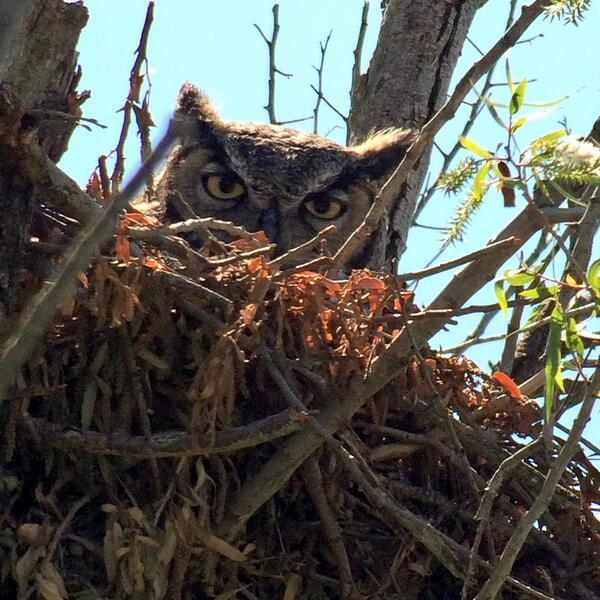 Hello mrs great horned owl. Nice nest. #wildag #birds cool things we see in the field http://t.co/dmNyL3ttZM