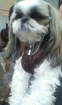 Image result for 犬 shih tzu 彼はあなたの目を見ない