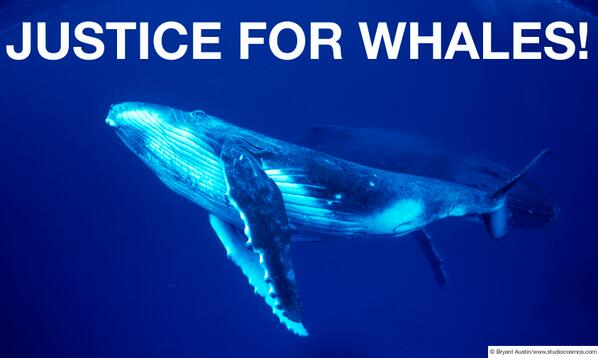 JUSTICE FOR WHALES! Japan's whaling ruled illegal. #whaling #Japan #ICJ #whales #WSPA http://t.co/PpofYIFuDc