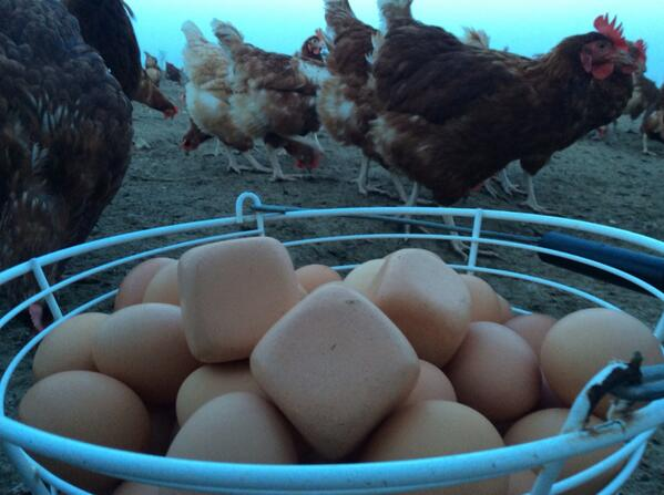 Live at a farm in Suffolk reporting on the chicken laying SQUARE eggs. @Daybreak 0720 http://t.co/71WXpIz2nN