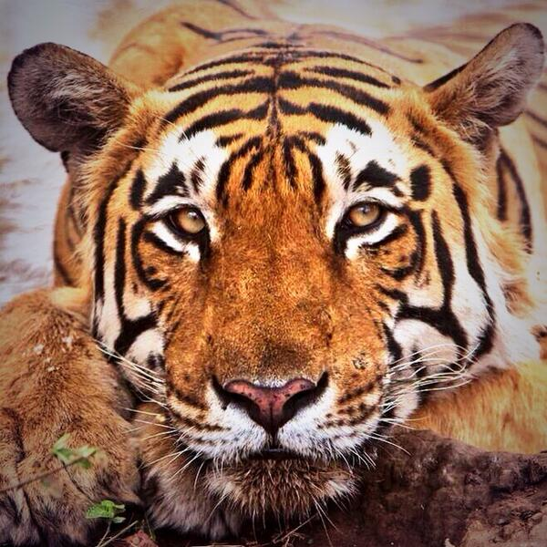 Help save the last 3200 tigers in the wild lend your support at http://t.co/ASdS8BKwfb  #bantigertrade RT thanks http://t.co/R5qvxBh9ex