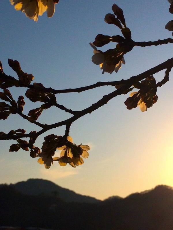 4/1北サクラ通りソメイヨシノ