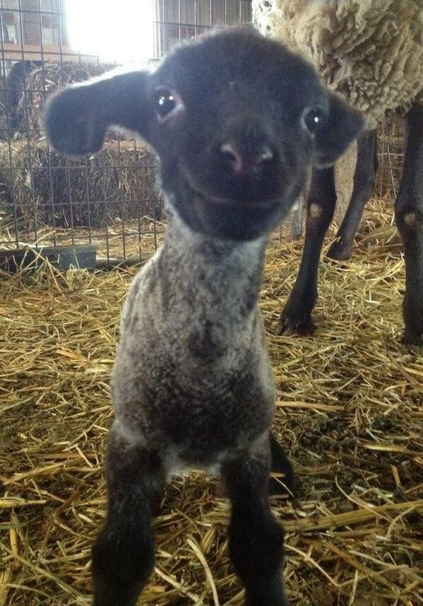 *dies of cute* RT @EmmaK67: Spring has sprung. Unleash the smiling lamb http://t.co/F8L75z4XPC