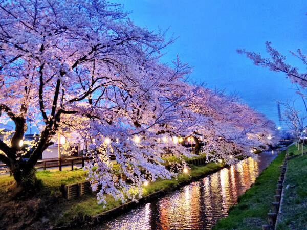 川越氷川神社裏の誉桜。今年は夜も素敵です。#kawagoe http://t.co/emd0pbNHpm