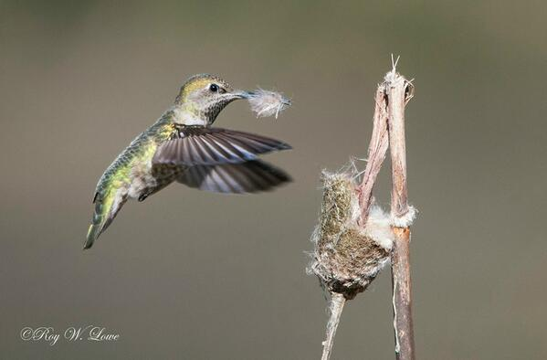 Roy Lowe from the Oregon Coast NWR shared this beautiful image of a hummingbird busy collecting cattail tufts. http://t.co/Xe8JicG92V