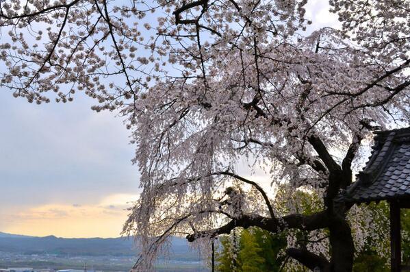地蔵禅院その2。夕暮れ時の桜もまたひと味違って美しいです。 http://t.co/UTaMwqZn5g