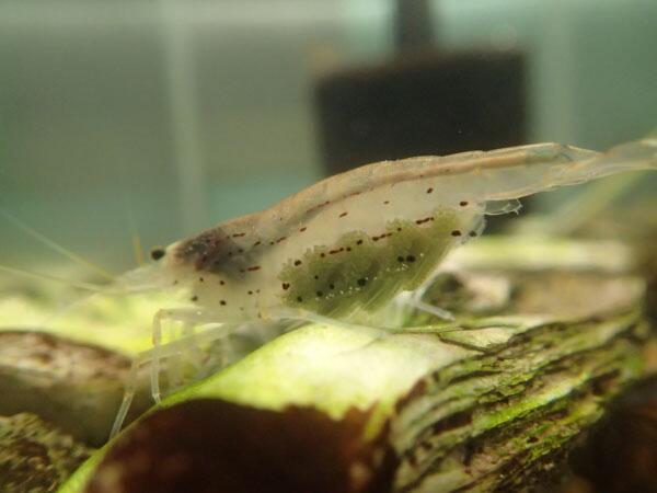 卵 ヤマト ヌマエビ