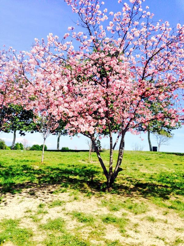Beautiful day to be at the park #cherryblossomtree pic.twitter.com/BBvheO7MhR