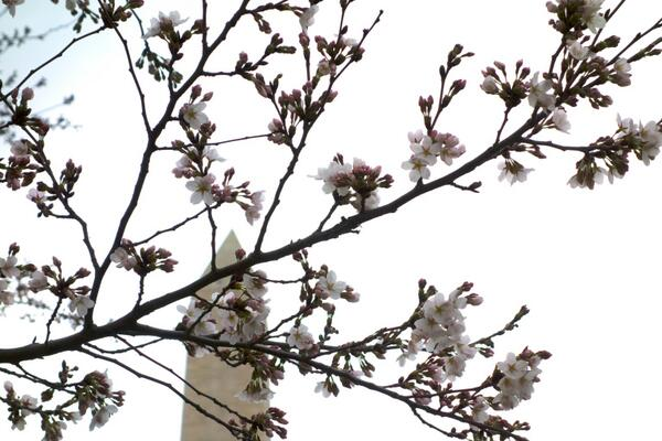 PSST. THEY'RE HERE. RT @jdsonder  @CherryBlossFest @FamousDC Early Bloomers at the Washington Monument http://t.co/YkuirL6EQv