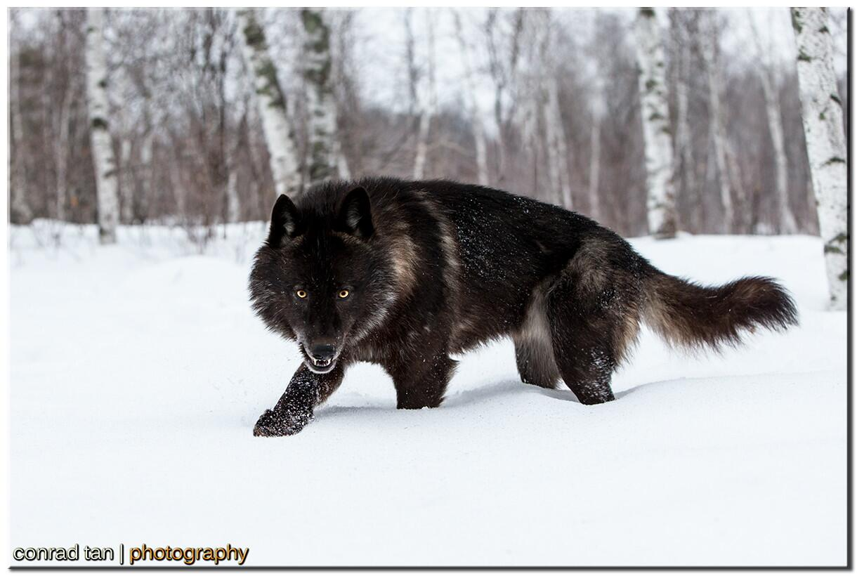 Twitter / zaibatsu: Black Timber Wolf #Minnesota ...