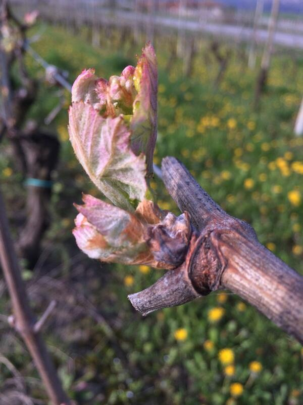 Nebbiolo bud break, near Barolo. http://t.co/2qTY5uQ9mG
