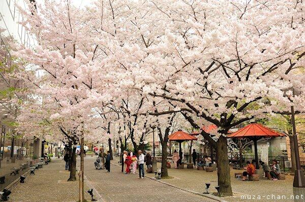 Cherry blossoms ephemeral beauty http://t.co/2E1mBUIl9o #sakura #Japan http://t.co/8ZyvQA50sT
