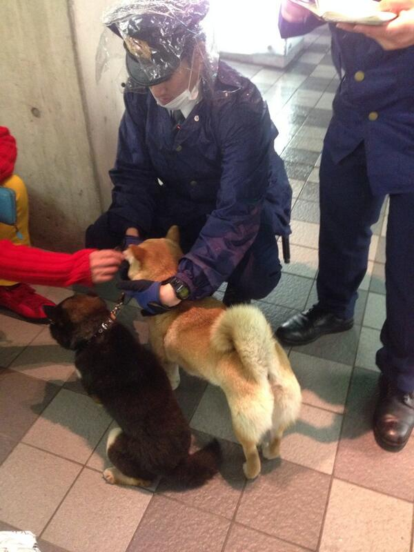 「緊急」六本木のローソンに迷子の柴犬が保護されています。飼い主さんは麻布警察に連絡ください。 03-3479-0110. 拡散してお願いします。 http://t.co/HMZguKUhvG