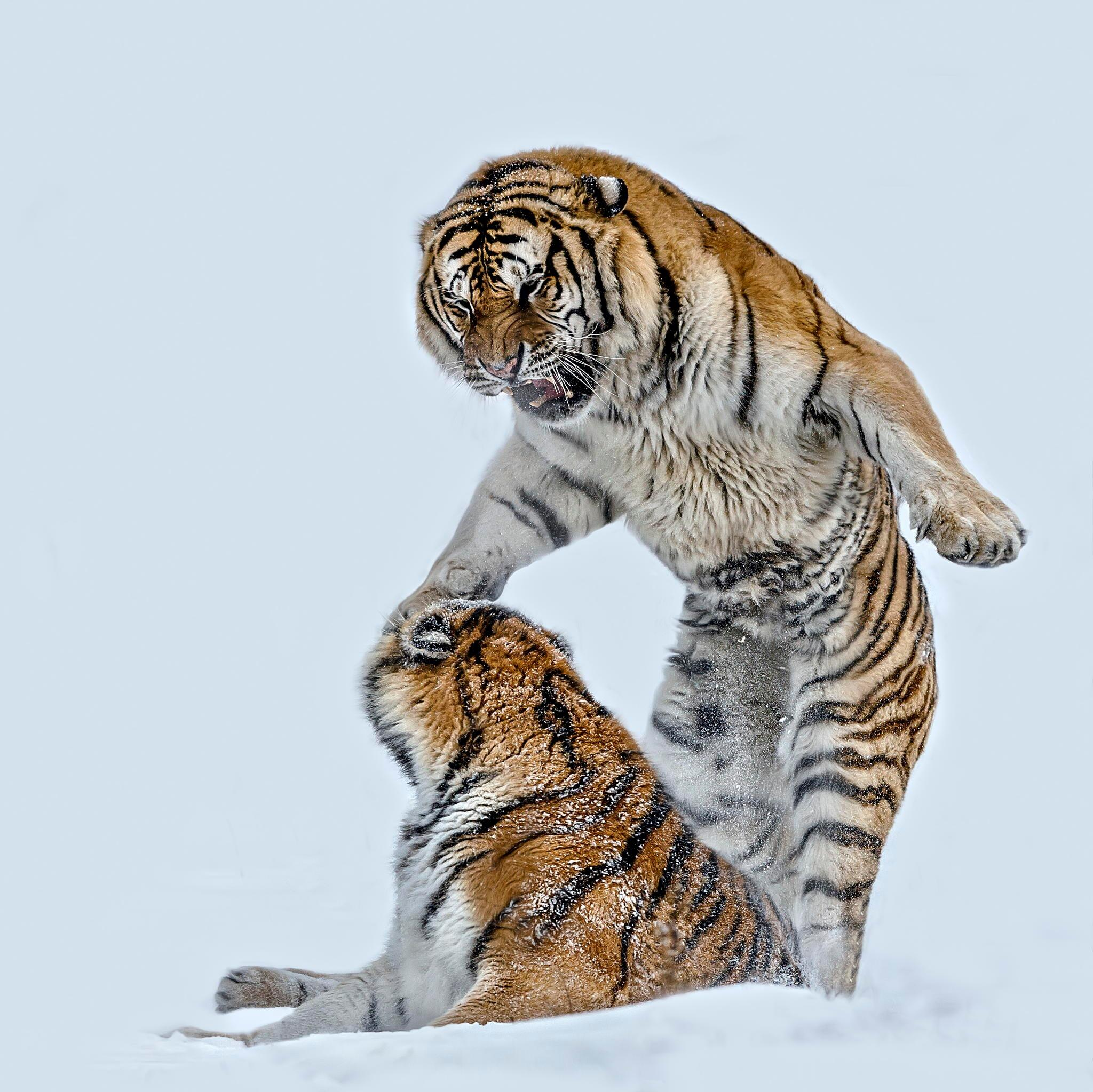 Twitter / zaibatsu: An awesome photo of Tigers ...