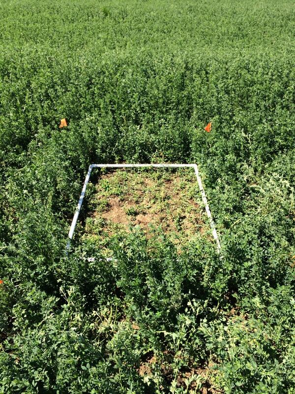 Sunday #Fieldwork harvesting first plots for #wildag alfalfa experiment http://t.co/jTCHi45pTU