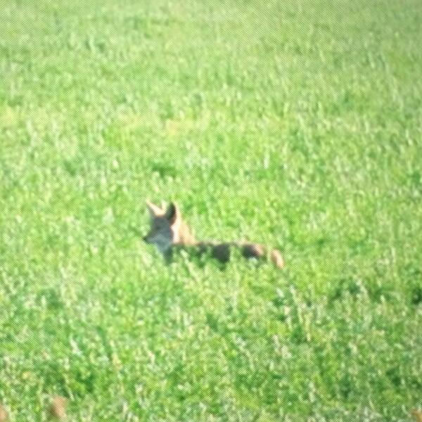Bad photo of a badass coyote I just spotted in an alfalfa field #wildag #coyotes eat rodents http://t.co/9nSVjkHcdx