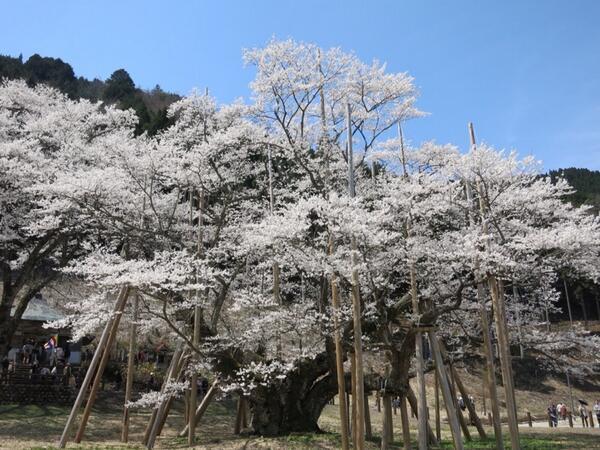 今年も来ました淡墨桜です。 http://t.co/cHTShHrQPb