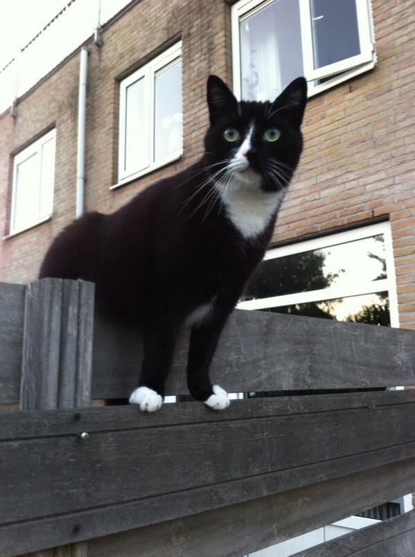 Wil iemand deze héééle lieve kat van ex-collega overnemen? Wegens omstandigheden gaat 'ie vanmiddag naar 't asiel. http://t.co/a6pb2fMPrY