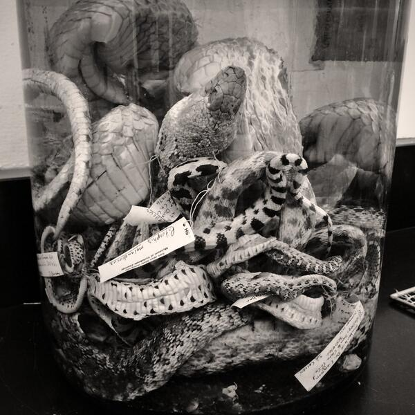 Joining me in the lab today- a giant jar of snakes. #wildag #creepybutcool http://t.co/Tnd62Ne607