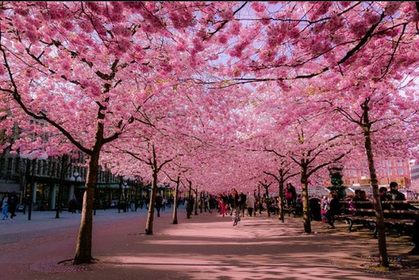 スウェーデンの首都ストックホルムの桜 http://t.co/COLYwRK5bC