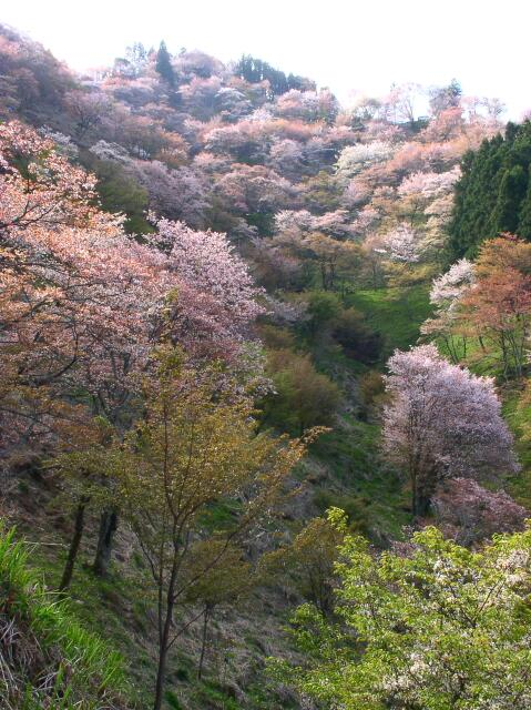 今日の写真は生涯に「一度は見るべし」奈良県吉野山の桜。 山全体が桜に包まれる様は「見事」!一歩外れて山道に入ると、誰もいない時空間に、桜たちと自分だけ。桜が一斉に雪崩れて話しかけてくるような、恐ろしい感覚に襲われます。 夜桜もぜひ♪ http://t.co/Mbiql0eiFd
