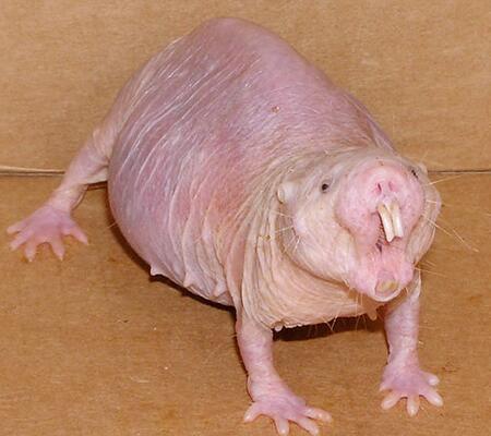 rata pelada