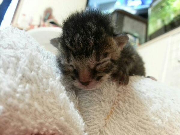 昨日も一度ツイートしましたが、知人が子猫を拾いました。近くで親猫が産み落としてから帰ってこなくなったそうです。関東まで引き取りにこれる方で飼いたい方いらっしゃればリプライください。 http://t.co/VbG9GBqWOJ