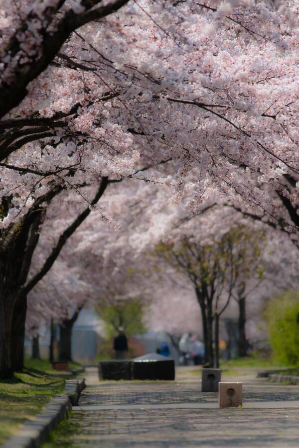 望遠圧縮効果もかかって素晴らしい桜のトンネル感が出ましたわ http://t.co/sb3tvyemdp