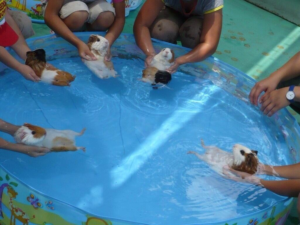 RT @P_Bruton: @emmafreud @Gotham3: Guinea Pigs are natural swimmers, but have to be introduced to the water slowly so don't panic http://t.…