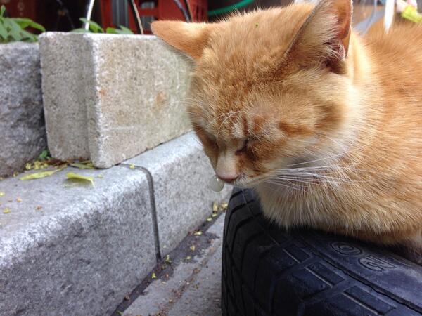 伊勢の神宮帰りにこんな猫見かけました。鼻ちょうちん…((⌯˃̶᷄₎₃₍˂̶᷄ ॣ)プッ♪ pic.twitter.com/mSBqixhGjl