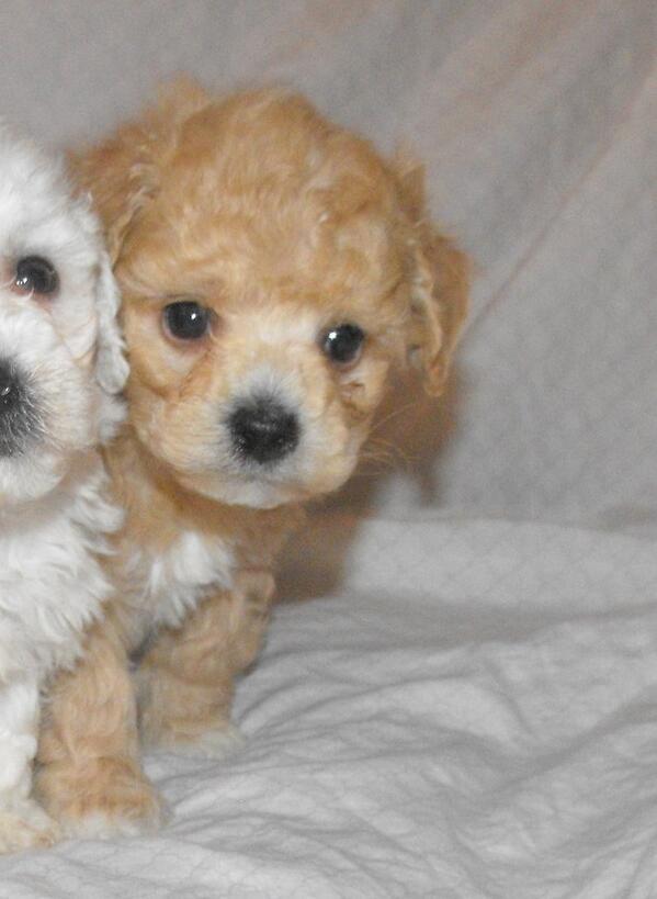 Lovelypuppies On Twitter Maltipoo Puppies For Sale Toronto