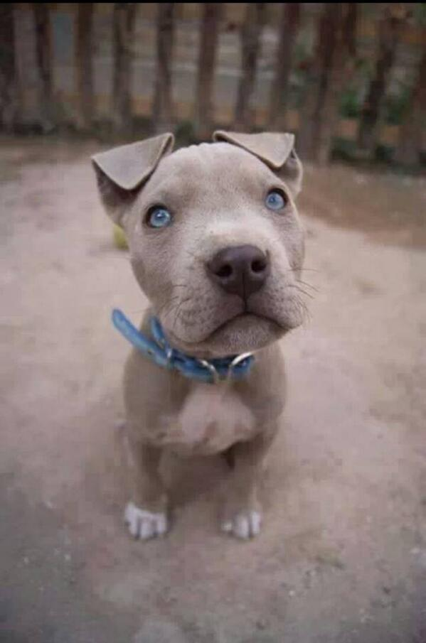 White Baby Pitbulls With Blue Eyes