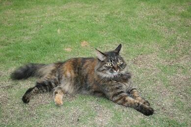 【迷い猫】八王子市鑓水で長毛高齢サビ猫の天音(あまね)を捜しています。八王子、町田、相模原周辺で長毛猫を見かけた方は連絡お願いします。#猫 #cat #迷子  https://t.co/KEzCdkZUR3