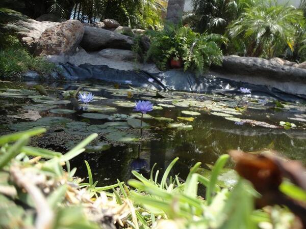 JARA BLANCA: Cistus albidus | Plants rioMoros