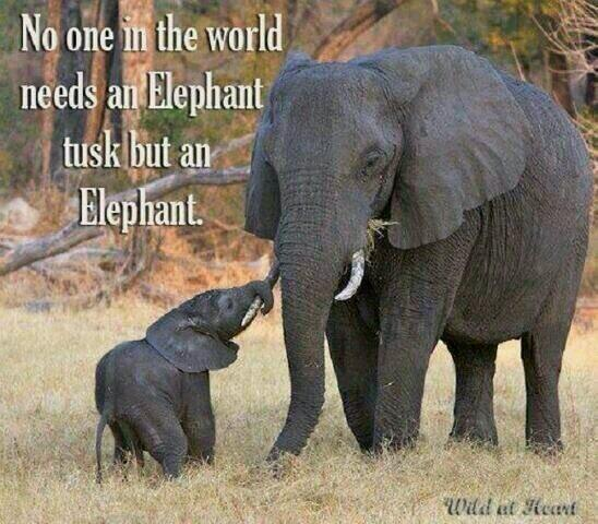 #stoptheslaughterofelephants  We're facing a future without elephants.  http://t.co/iIEm5yxdXd  @TheWCS  Please RT' http://t.co/XqgaxG0toh