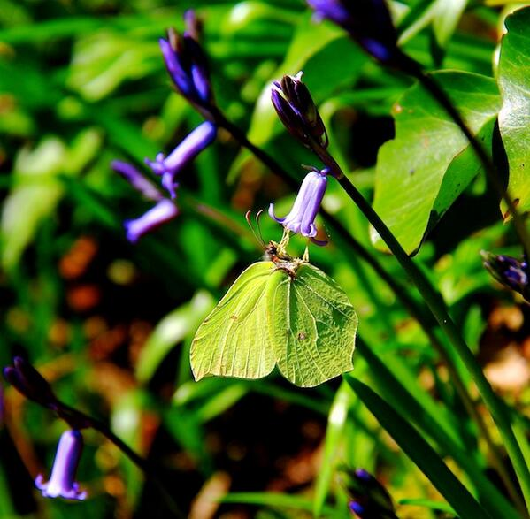 At my local woods today, bluebells & a fabulous brimstone butterfly, staying put too for a picture! #devonhour http://t.co/0tbOedkiVT
