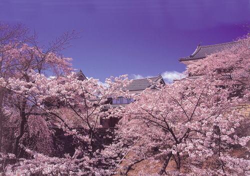 「上田城千本桜まつり」が行われている上田城(上田市)の桜が見頃を迎えています。約1,000本の桜が古城に彩りを添えます。お堀に桜が映る夜桜ライトアップもみどころです。http://t.co/n9cBVdpk5d http://t.co/5IASxBYuon