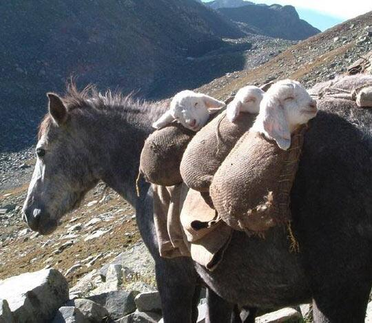 This donkey totes ma goats. http://t.co/PAiuAGCqdr
