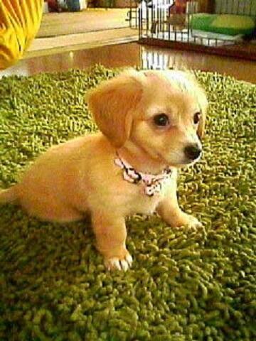 チワワとダックスフントのMIX犬がかわいい☆ http://t.co/kid9mPRVtV