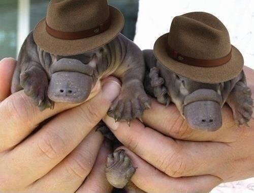 """@earthposts: Two baby platypuses wearing fedoras. That is all. http://t.co/vLSa7Bo8YO""  happy Saturday!"