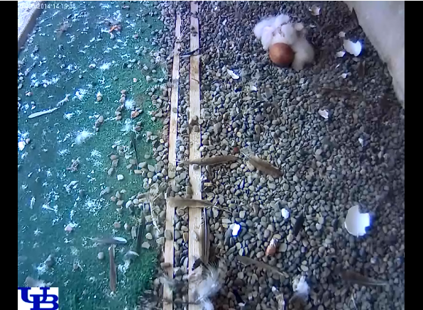 It looks like 3 falcon chicks have hatched. Still waiting on one egg! Watch live: http://t.co/bCylSWIJJu #UBuffalo http://t.co/Qjzoip4rdT