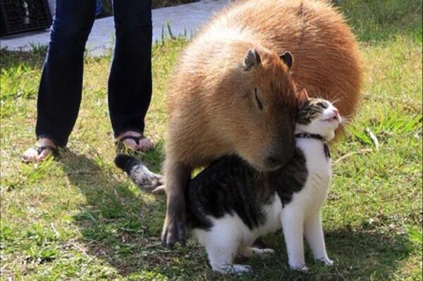"Google Imaging ""Capybara"" is WORTH IT. http://t.co/vO9BuX0AxL"