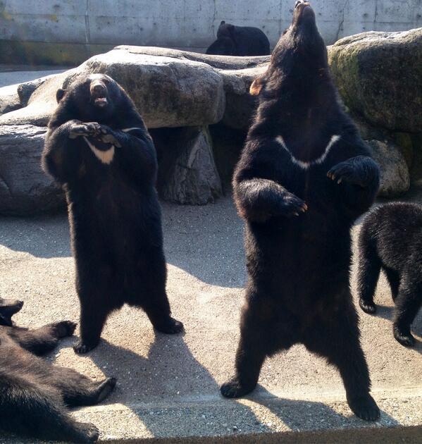 となりのクマの突然の咆哮にガチでビビる左側のツキノワグマが可愛すぎる件。 pic.twitter.com/M4BbuSEchW
