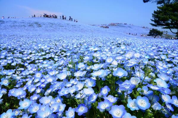 """本日より""""ネモフィラハーモニー""""が開催しました。見頃を迎えた満開のネモフィラが青の絶景を作り上げます。 http://t.co/kxm4Pqiq1l"""