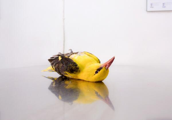 Golden Oriole #malta Saw & heard 4 this am. This 1 shot & died on way 2 vet #stopspringhunting http://t.co/guXqMXS6PA http://t.co/GCR0e88pQm